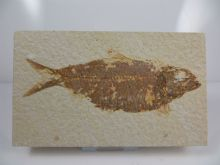 Knightia, Fossil Fish